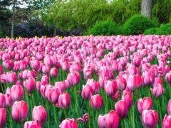 Оттава проведет праздник тюльпанов