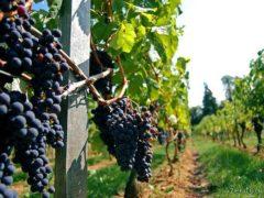 Венские винодельни проведут экскурсию для туристов