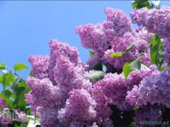 Фестиваль Сирени пройдет в Саппоро