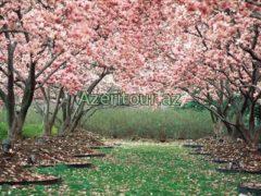 Фестиваль в Сеуле в честь цветение вишни