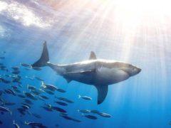На пляжах Австралии уничтожают акул