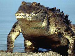 В Австралии российского туриста укусил крокодил